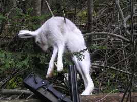ловить зайца руками
